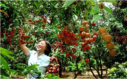 荔枝树施有机肥技术方法